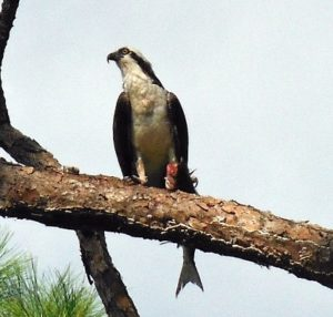 osprey-w-fish